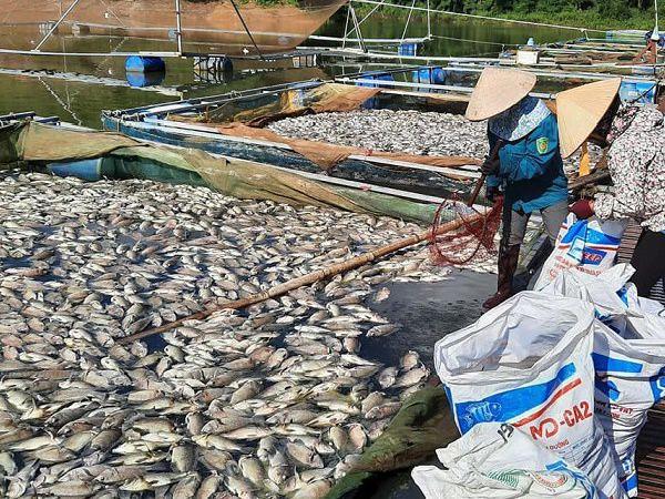 Cá chết chất thành đống vì nắng nóng kỉ lục, người nuôi thiệt hại nặng nề