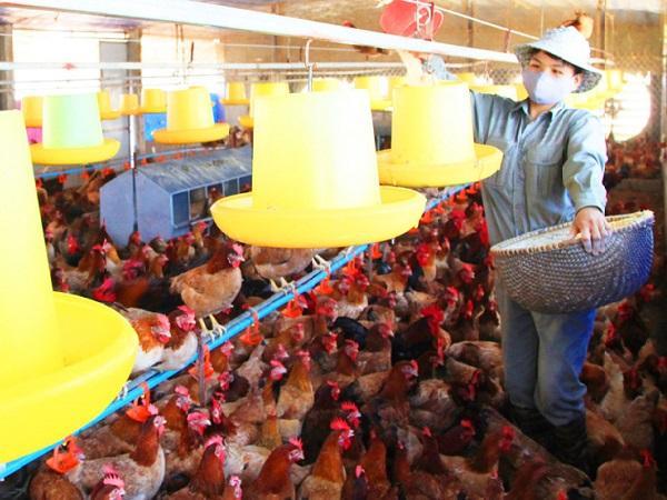 Nhiều giải pháp hỗ trợ cho chăn nuôi quy mô nông hộ