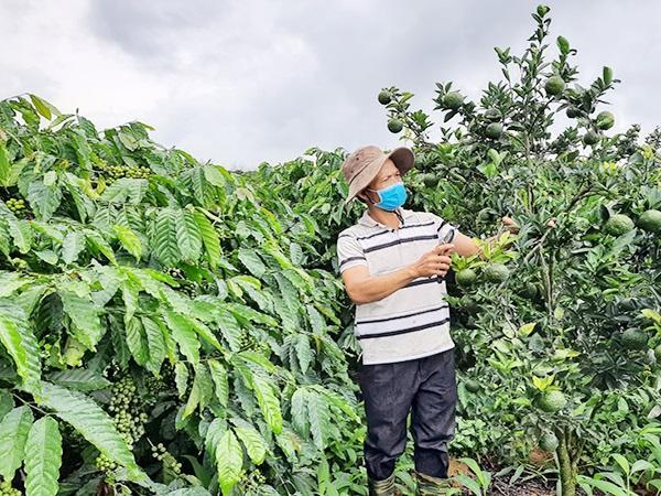 CS-Trồng xen canh, giải pháp giảm rủi ro cho người nông dân