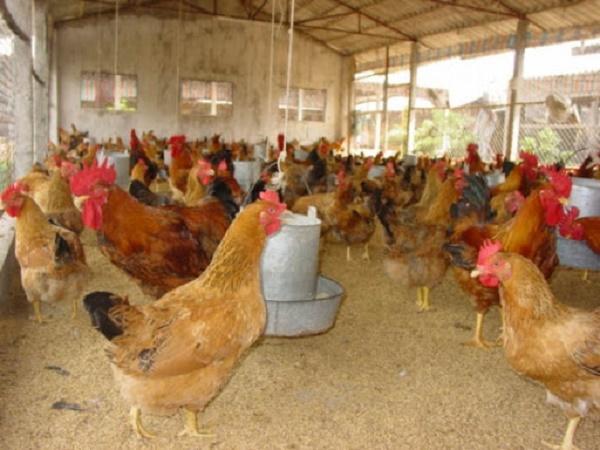 N-Lịch phòng bệnh bằng vắc-xin cho gà