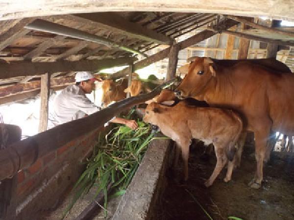 N- Những biện pháp kỹ thuật nâng cao khả năng sinh sản ở bò cái