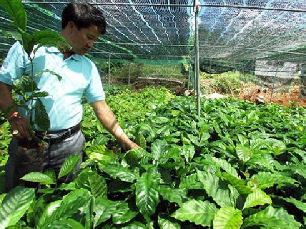 CS-Quy trình sản xuất cây cà phê giống sạch bệnh, chất lượng cao (phần 1)