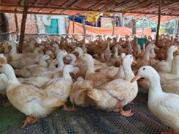 Chán mua gia cầm, Trung Quốc chuyển sang mua lông gà, lông vịt từ Việt Nam