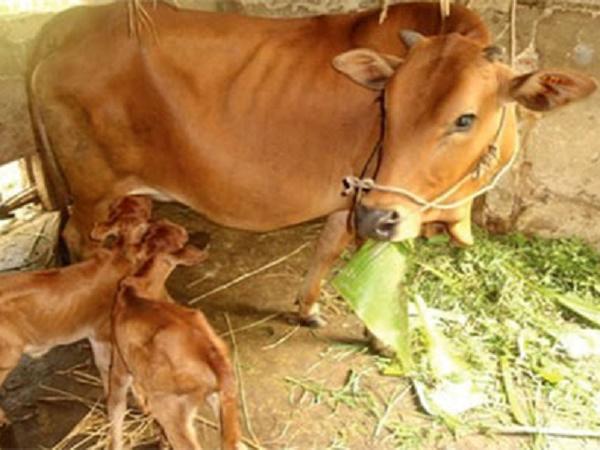 CB-Các bệnh chính trong thời kỳ sinh đẻ của bò