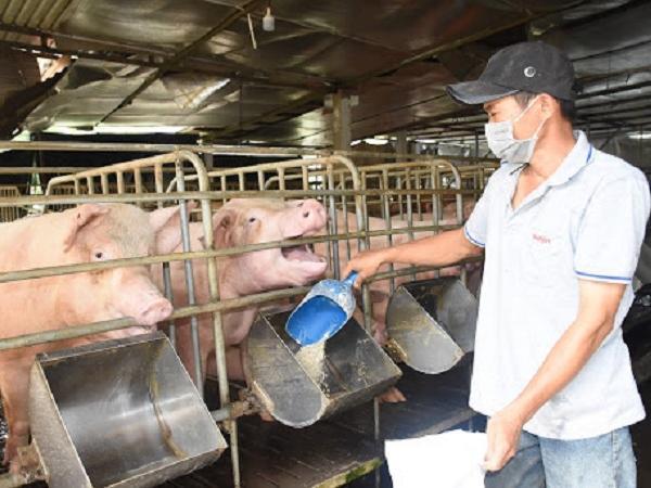 Giá lợn hơi chạm đáy, người nuôi làm gì để vượt qua khủng hoảng