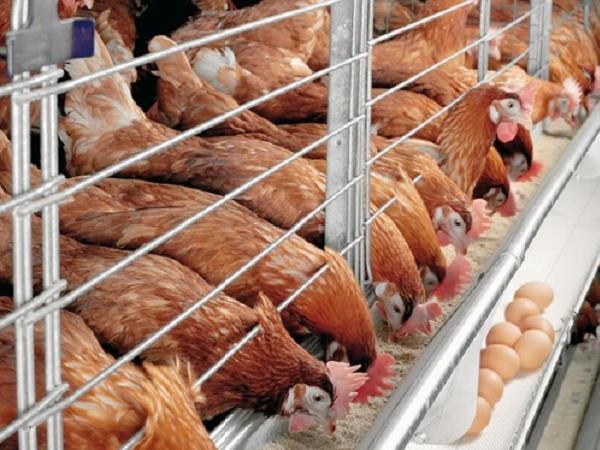 N-Cách để gà đẻ trứng nhiều trong mùa hè