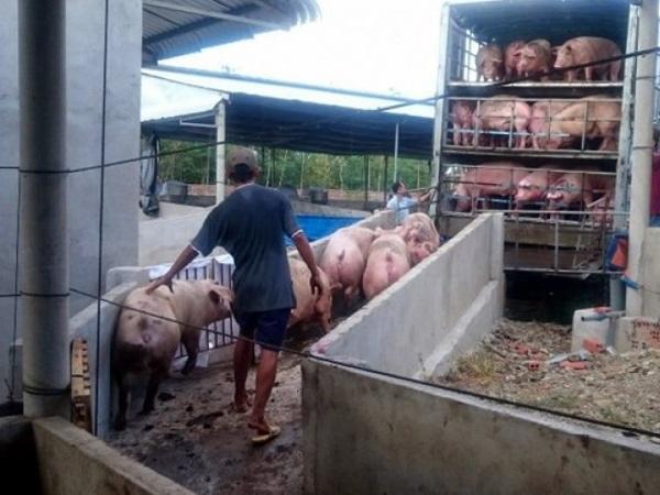 Chốt phương án hỗ trợ tiêu thụ heo, giảm thiệt hại cho người chăn nuôi