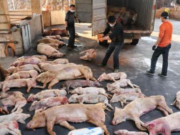 Bắt giữ đối tượng chuyên thu mua lợn nhiễm dịch tả lợn châu Phi bán kiếm lời