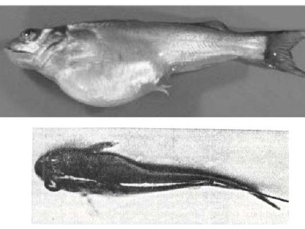 CB-Cách nhận biết bệnh do virus ở cá trê sông