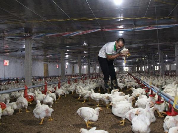 Nhiều trang trại nguy cơ lỗ do giá gà chỉ còn 10.000 đồng/kg vẫn không bán được