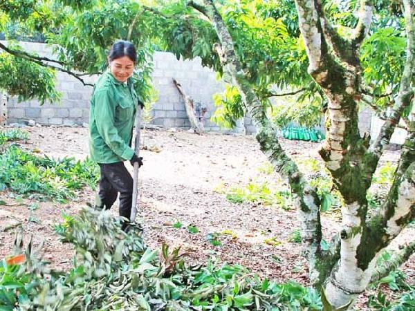 CS-5 bước cần thiết trong chăm sóc cây vải sau thu hoạch