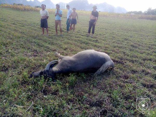 Trâu bò rống lên rồi lăn đùng ra chết, nhà nông bỗng chốc trắng tay