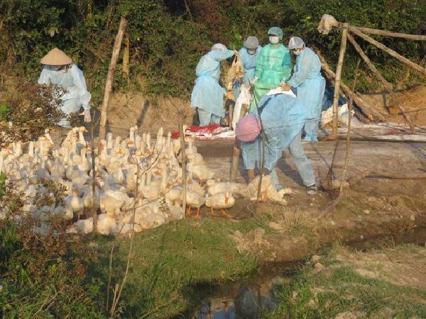 Cảnh báo: tiếp tục phát hiện chủng cúm A/H5N8 trên đàn gia cầm gần 3.500 con