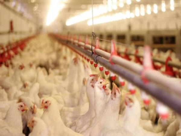 N-Dấu hiệu nhận biết cúm gia cầm độc lực cao A/H5N8