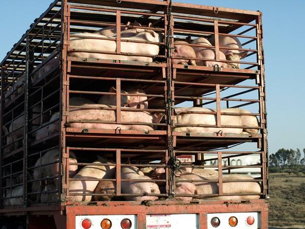 Phạt 7 triệu đồng vì vận chuyển lợn không có chứng nhận kiểm dịch