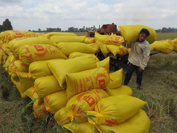 Hàng triệu tấn lúa nghẽn đầu ra, cấp thiết giải pháp tiêu thụ lúa cho nông dân