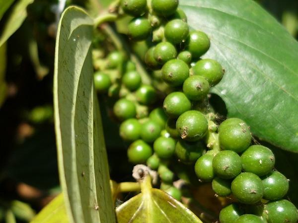 Hạt tiêu bị hải quan coi là dược liệu phải kiểm soát khi xuất khẩu?