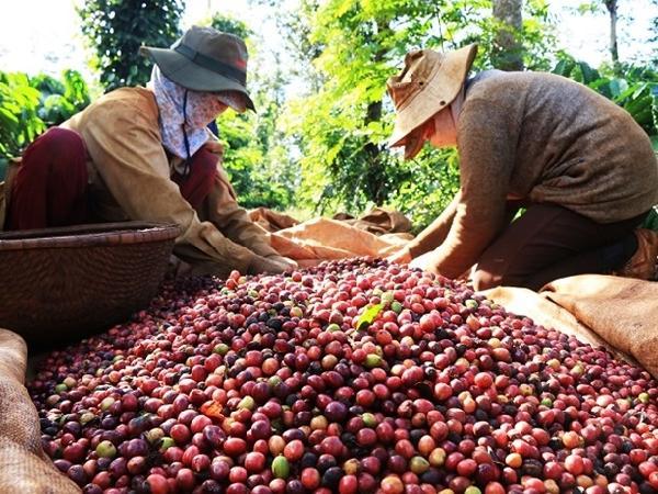 Giá cà phê tăng phi mã, chạm mốc 40.000 đồng/kg