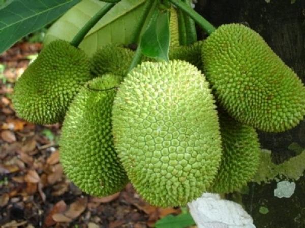 CS-Bí quyết trồng cây mít Tứ quý cho quả ngọt lịm, mang lại kinh tế cao
