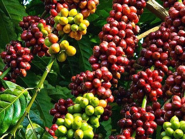 Giá cà phê tiến tới mốc cao nhất 6,5 năm qua, đà tăng giá mạnh mẽ vẫn chưa dừng lại