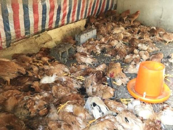 Tình hình bi đát, mỗi ngày nhặt cả đống gà chết đem thiêu vì chuồng hết chỗ chứa
