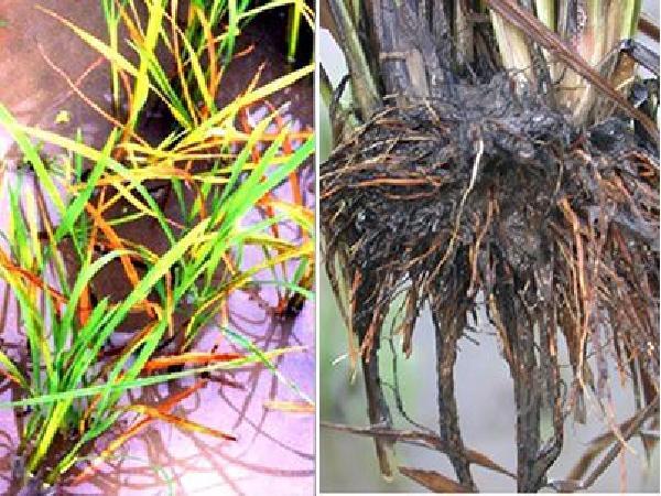 CS-Cách khắc phục ngộ độc phèn cho lúa hè thu