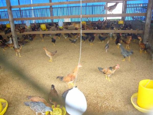 N-Chất độn chuồng nào thích hợp với trại gà?