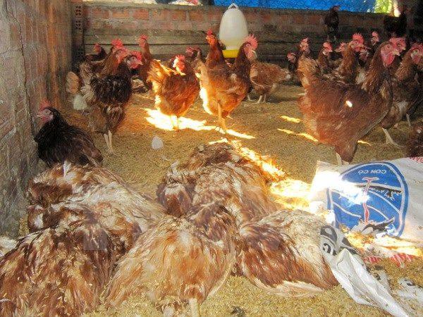 Cúm A/H5N8 bùng phát, hơn 40 triệu con gia cầm đứng trước nguy cơ xâm nhiễm