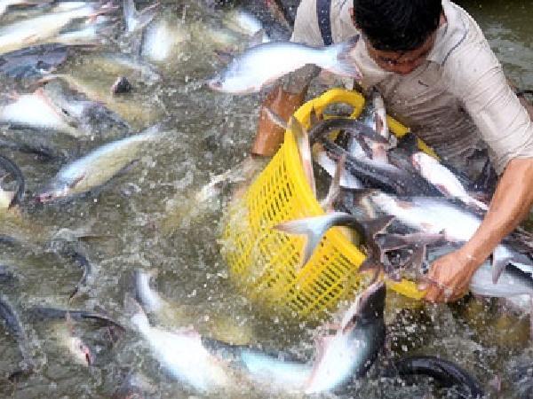 Diện tích cá tra giảm mạnh để phù hợp với nhu cầu thị trường tiêu thụ