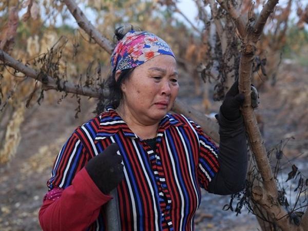Hơn 400 cây vải thiều bị đốt cháy, nông dân 'khóc hết nước mắt'