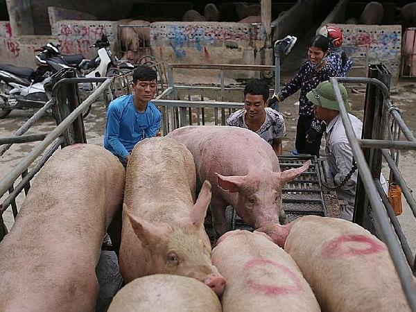 Giá lợn hơi xuống thấp nhất trong 4 năm qua, nỗi lo trở về giá đầu năm 2017