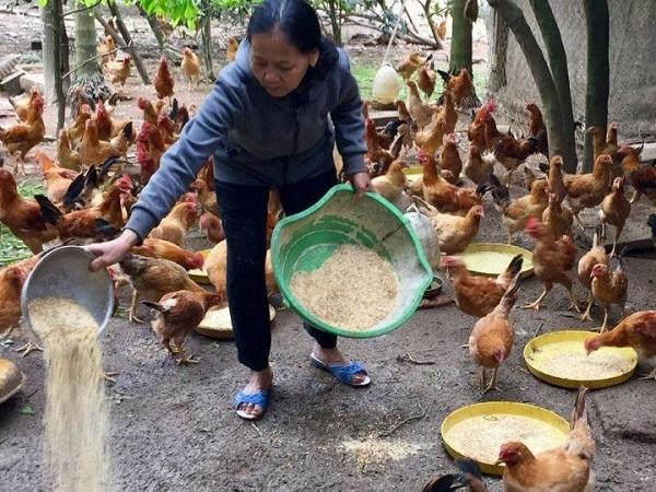 Cách phối trộn thức ăn từ thảo dược giúp gà nhanh lớn, ít bệnh