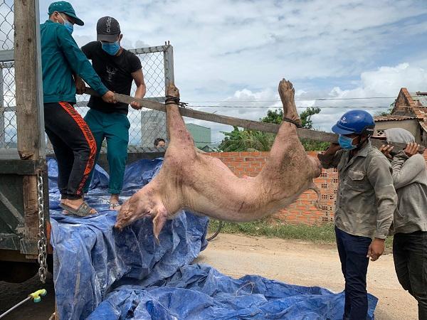 Dịch tả lợn châu Phi và Viêm da nổi cục cùng bùng phát, người chăn nuôi điêu đứng