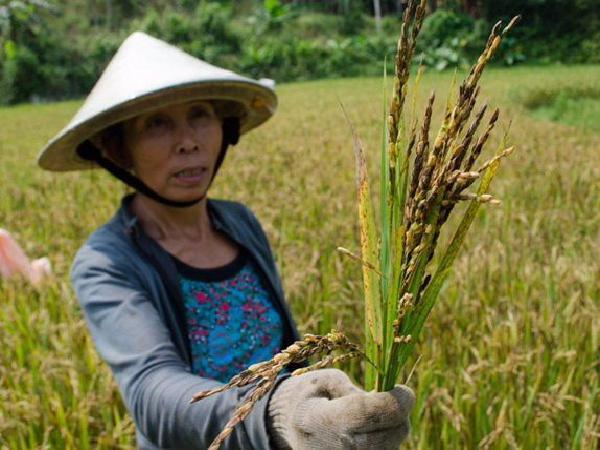 Bị phản ánh lúa không hạt, DN phản hồi do 'nông dân không biết làm ruộng'
