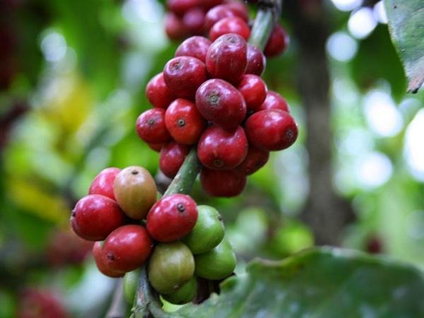 Giá cà phê Tây Nguyên tiếp tục tăng mạnh 1 triệu đồng/tấn