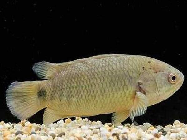 CB-Điều trị bệnh nấm nhớt nguy hiểm trên cá rô đồng