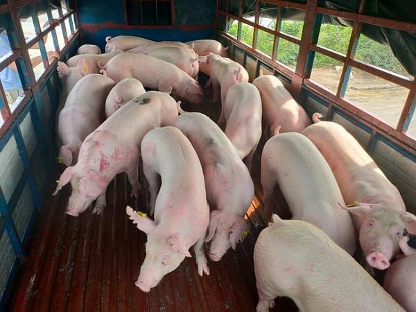Dứt đà giảm, giá lợn hơi có xu hướng tăng trong những ngày tới