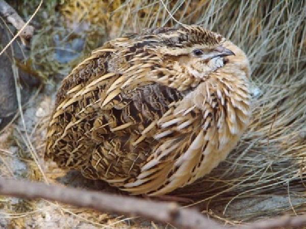 N-Hướng dẫn kỹ thuật nuôi chim cút giống Nhật Bản