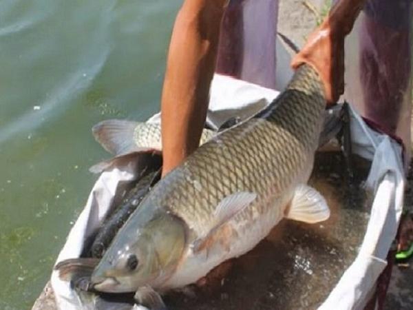 NT-Bắt và trị bệnh xuất huyết trên cá trắm cỏ