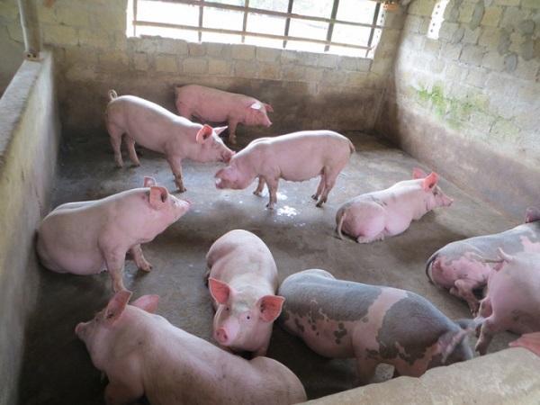 Đầu tháng giá lợn hơi có nơi tăng đến 3.000 đồng/kg, tín hiệu vui cho người chăn nuôi