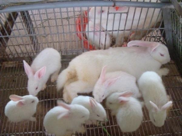 N-Kỹ thuật chọn và phối giống, làm ổ cho thỏ đẻ