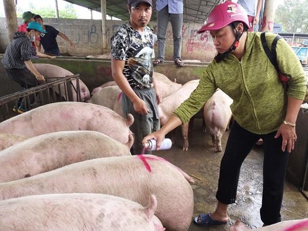 Giá lợn hơi tiếp tục giảm, người chăn nuôi càng giữ càng lỗ