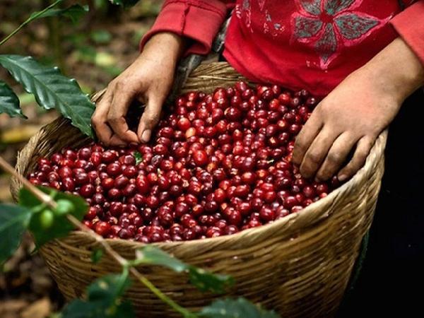 Giá cà phê trong nước đạt ngưỡng kỷ lục
