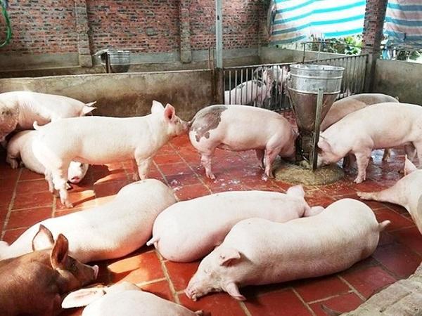 Giá lợn giảm sâu, mỗi con lợn lỗ hơn triệu, chủ nuôi lao đao, cuối năm lo thiếu thịt