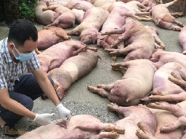Dịch tả lợn Châu Phi bùng phát chóng mặt, hàng trăm con lợn đã chết