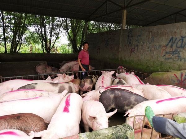 Nhiều địa phương nới lỏng giãn cách, giá lợn bắt đầu tăng và tăng mạnh trong những ngày tới
