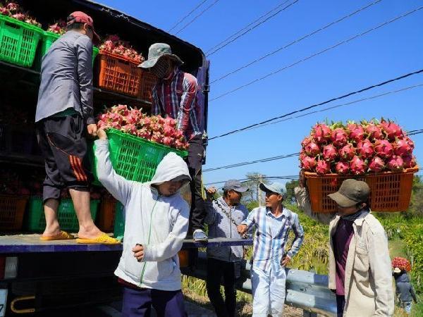 Phát hiện virus SARS-CoV-2 trên bao bì, Trung Quốc dừng nhập thanh long Việt Nam