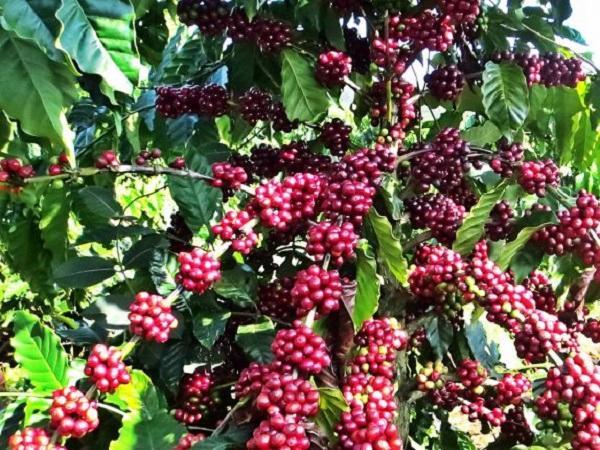 Giá cà phê không ngừng tăng cao, vượt mốc 40.000 đồng/kg