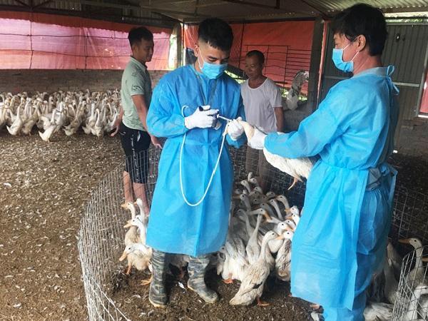 Thiệt hại hơn 1.500 tỷ đồng do dịch bệnh gia súc, gia cầm