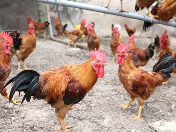 Những giống gà ngon có giá bán cao, dễ tiêu thụ vào dịp Tết Nguyên đán